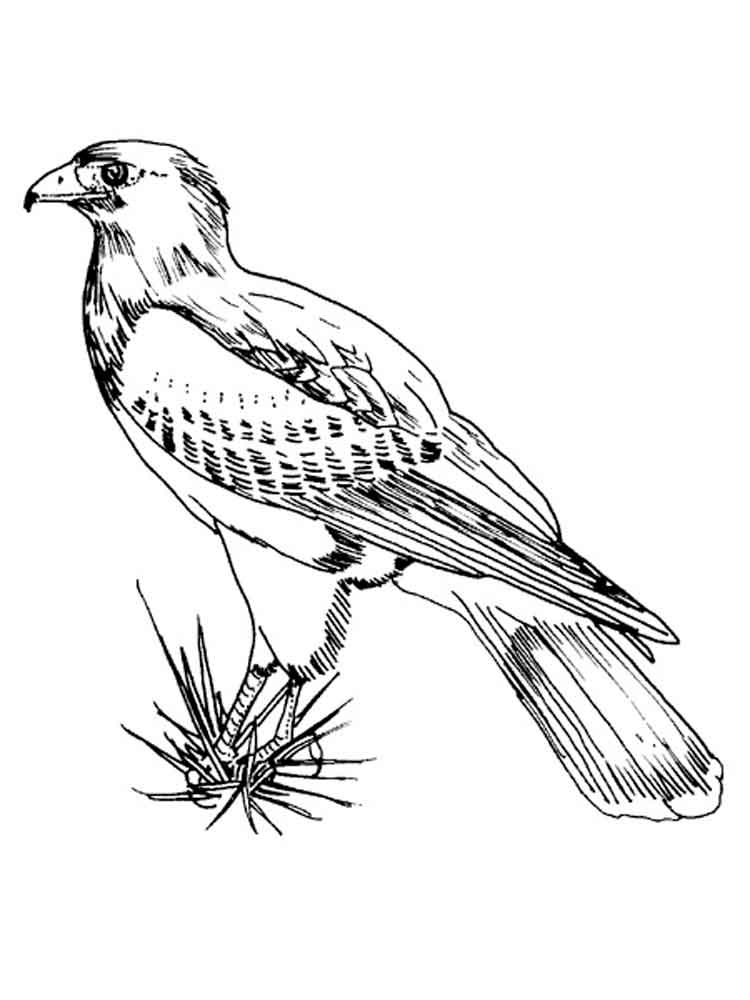 hawk coloring pages hawk coloring pages download and print hawk coloring pages coloring hawk pages