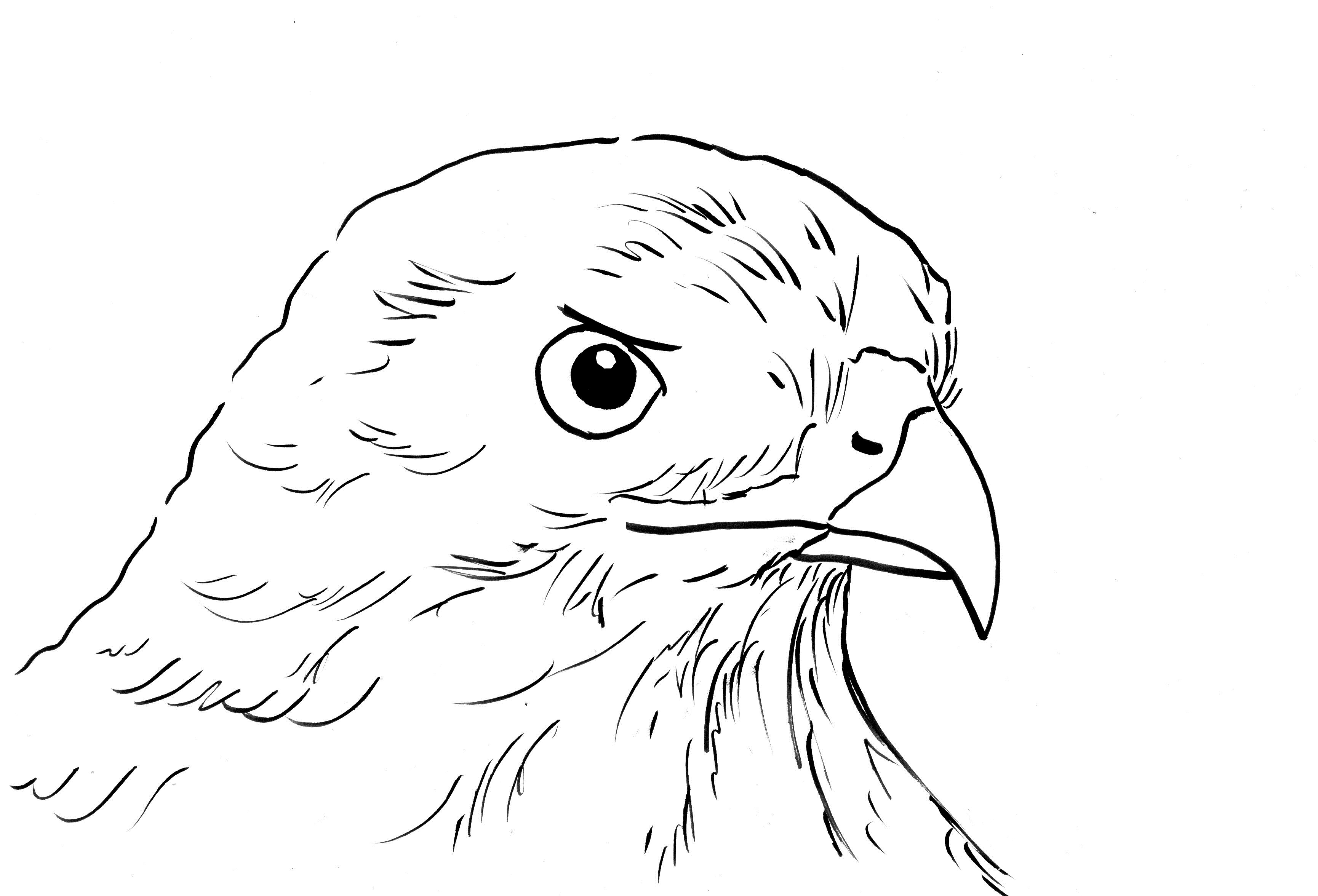 hawk coloring pages hawk coloring pages download and print hawk coloring pages coloring pages hawk
