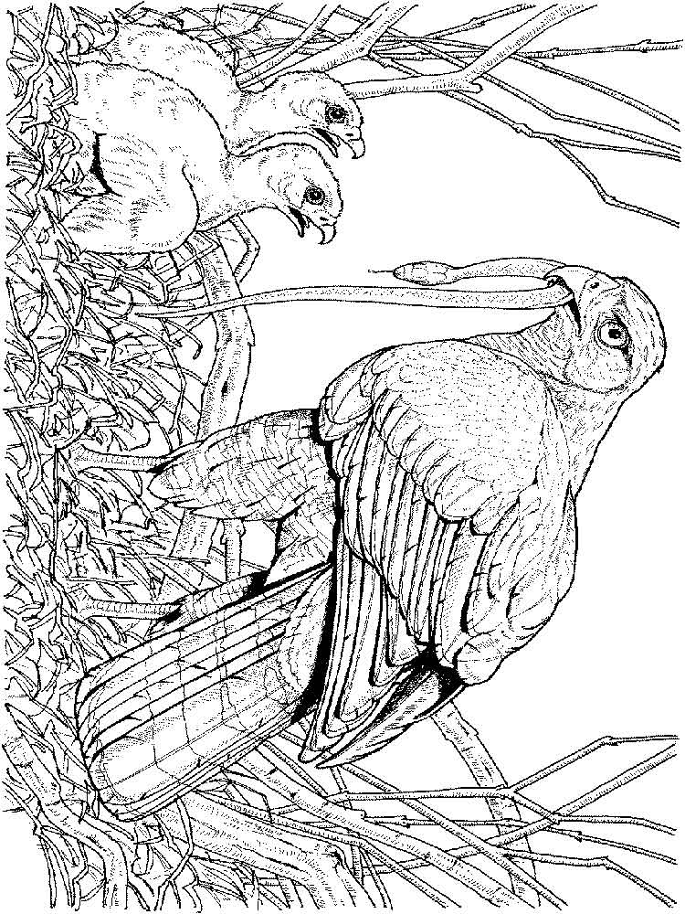 hawk coloring pages hawk coloring pages download and print hawk coloring pages pages hawk coloring
