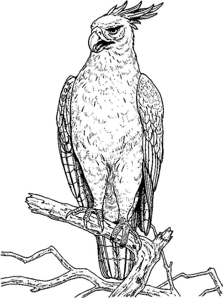 hawk coloring pages hawk coloring pages download and print hawk coloring pages pages hawk coloring 1 1