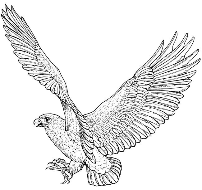 hawk coloring pages one example of a free coloring page from dover bird coloring hawk pages