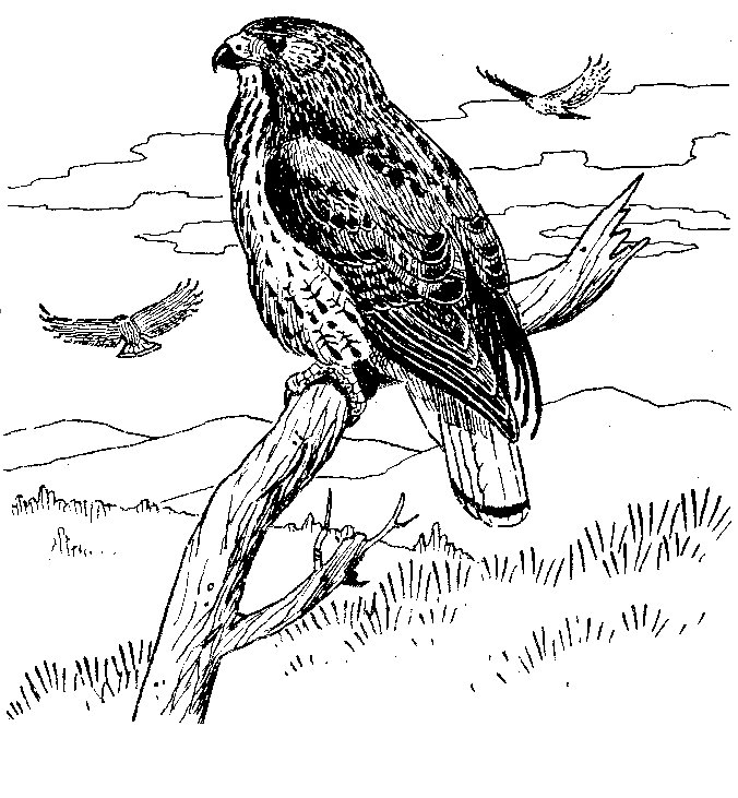 hawk coloring pages red tailed hawk coloring download red tailed hawk coloring pages hawk