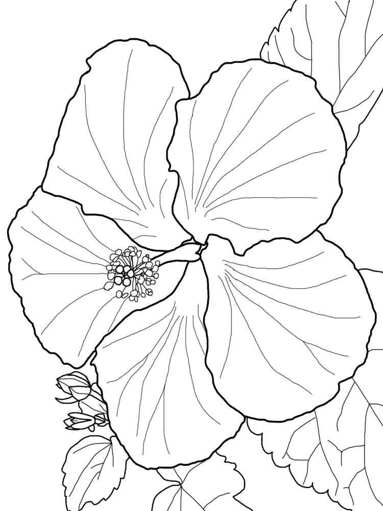 hibiscus coloring page free printable hibiscus coloring pages for kids coloring hibiscus page