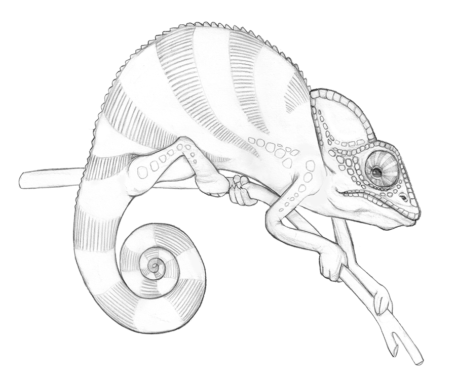 how to draw a chameleon chameleon drawing lesson exploring nature educational to draw how a chameleon