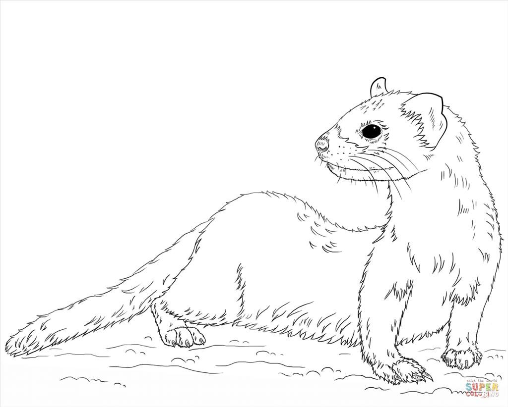 how to draw a ferret black footed ferret coloring page free printable to a ferret draw how