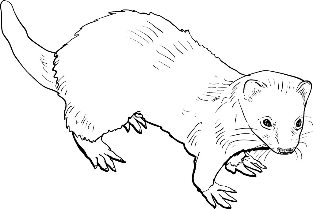 how to draw a ferret free ferret lineart by thedashcat on deviantart draw to a ferret how