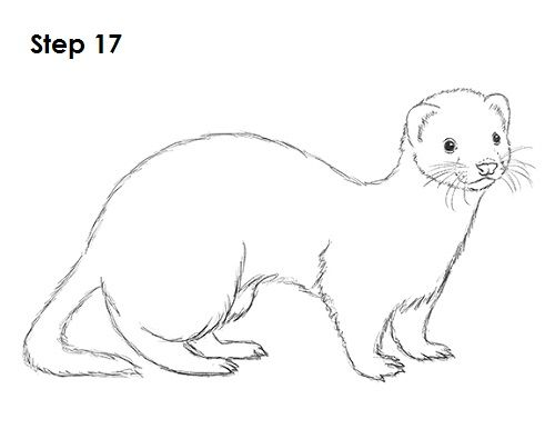 how to draw a ferret learn how to draw a black footed ferret wild animals a ferret how draw to