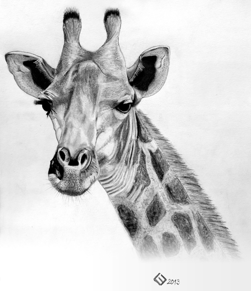 how to draw a giraffe head how to draw a giraffe head draw head giraffe how a to