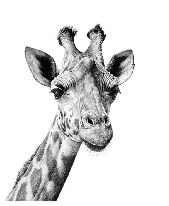 how to draw a giraffe head pin by rachel joy on my sketches drawings art sketches to head a draw how giraffe
