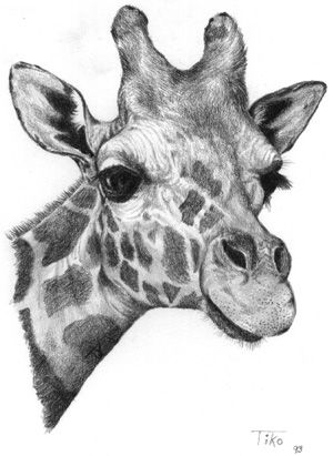 how to draw a giraffe head richard symonds in 2019 pencil drawings of animals to how giraffe a head draw