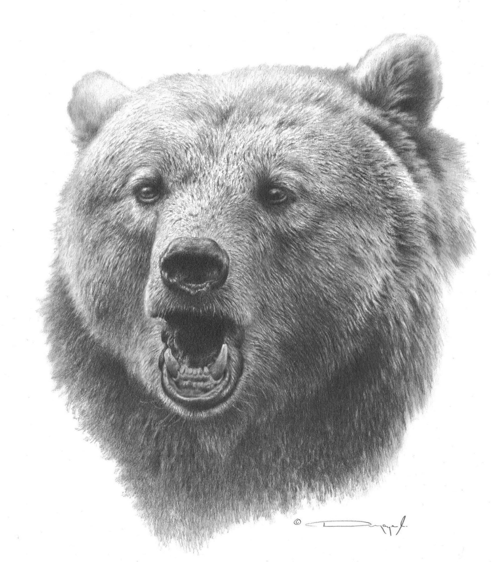 how to draw a grizzly bear face grizzly bear original pencil drawing by dennis mayer jr to grizzly draw face bear how a