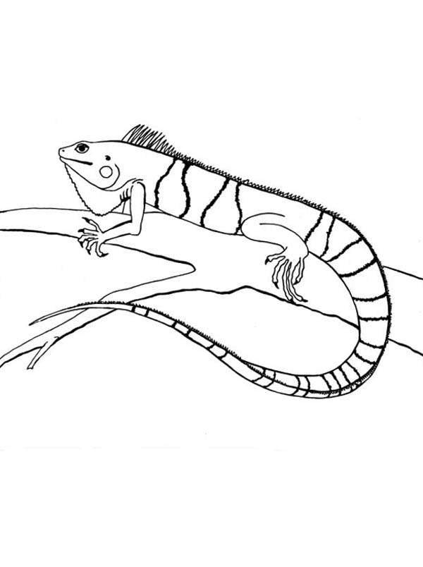 how to draw a iguana iguana drawing at getdrawings free download iguana a to how draw