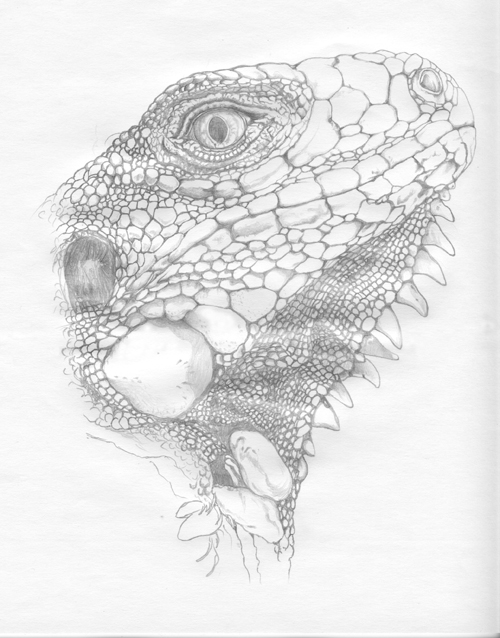 how to draw a iguana madeleine dubé sketches musings from a creative journey iguana a draw to how