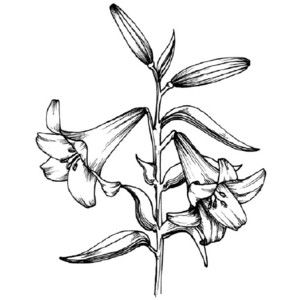 how to draw a lily how to draw a peace plant peace lily by dawn lilies lily to draw a how