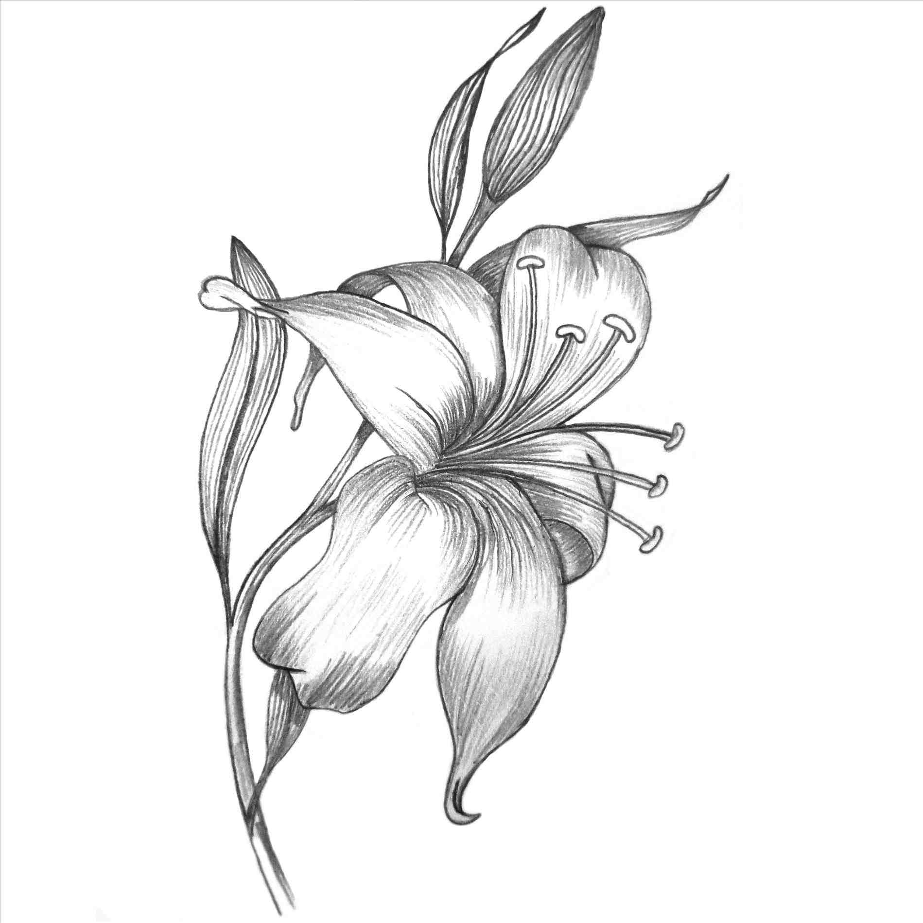 how to draw a lily lily flower line drawing at getdrawings free download how draw to a lily