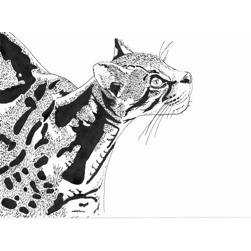 how to draw a ocelot completely captures the spirit of the ocelot drawing by ocelot draw a to how
