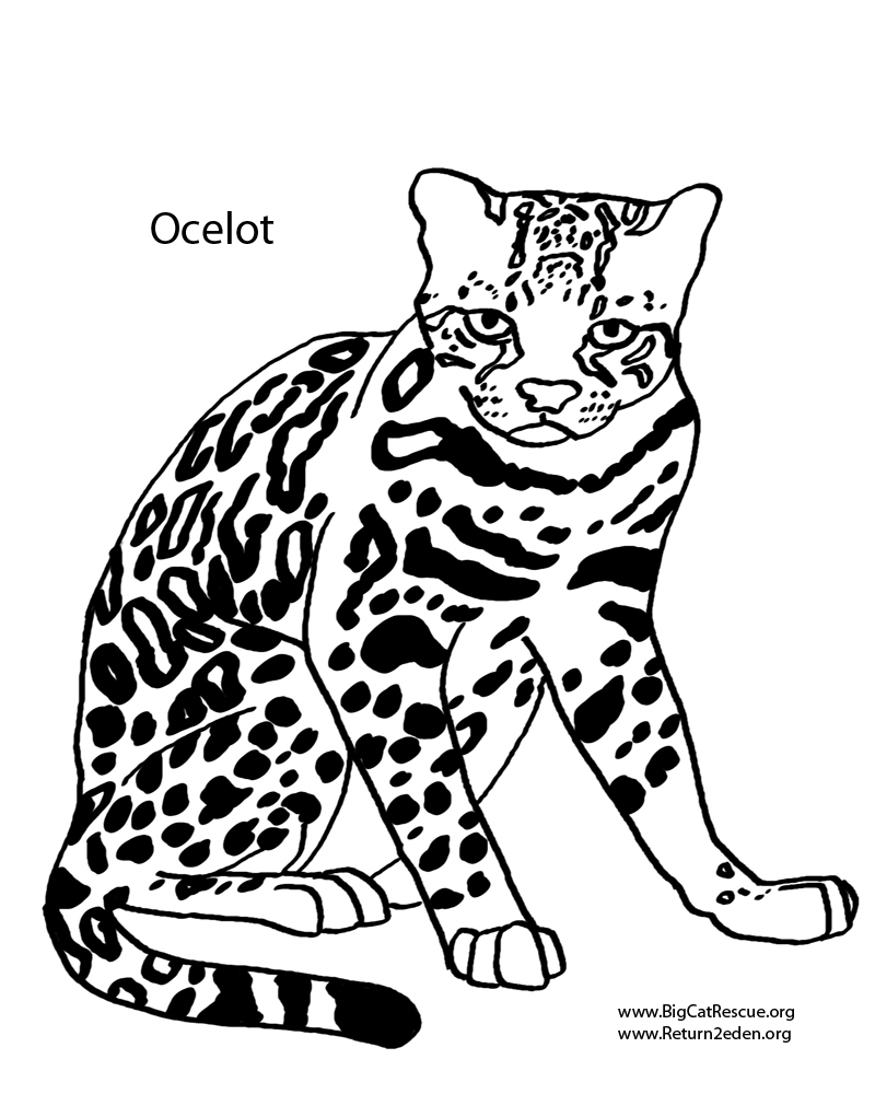 how to draw a ocelot download ocelot coloring for free designlooter 2020 how a draw to ocelot