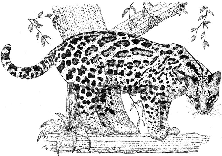 how to draw a ocelot ocelot coloring page free printable coloring pages to how draw ocelot a