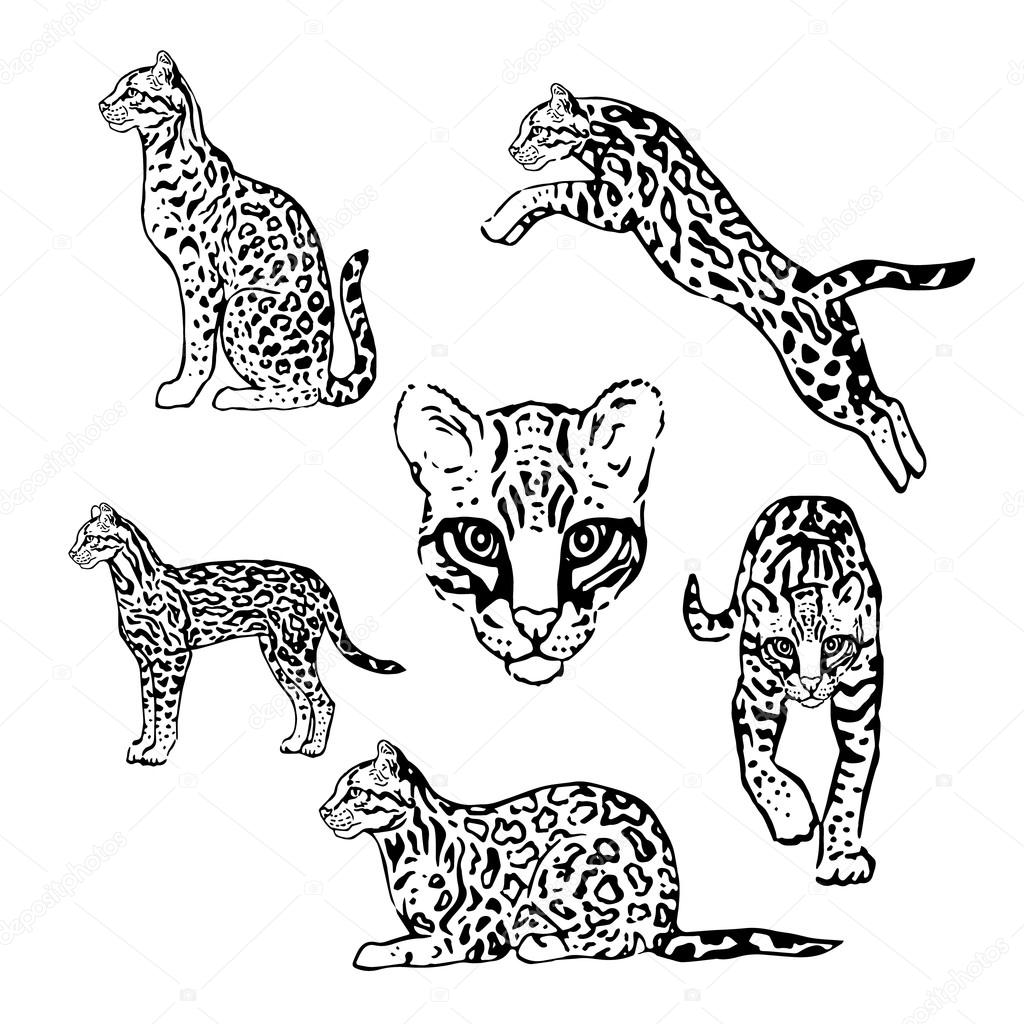 how to draw a ocelot ocelot drawing at getdrawings free download a how ocelot to draw