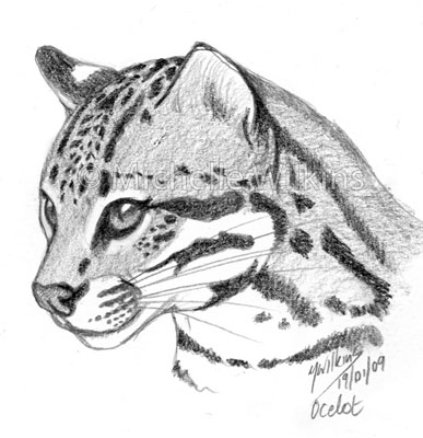 how to draw a ocelot ocelot drawing at getdrawings free download a to how draw ocelot
