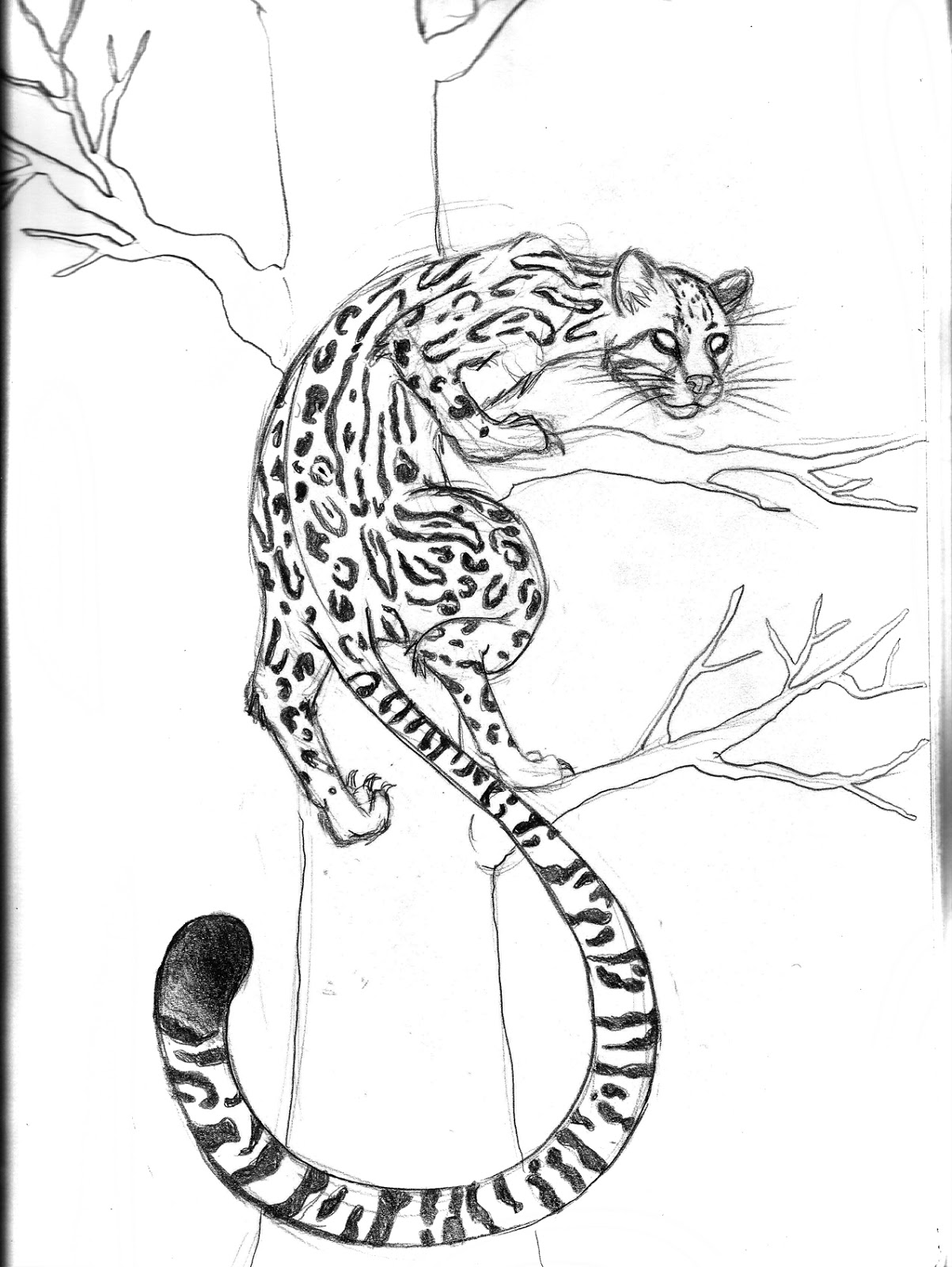 how to draw a ocelot ocelot drawing at getdrawings free download to a how draw ocelot