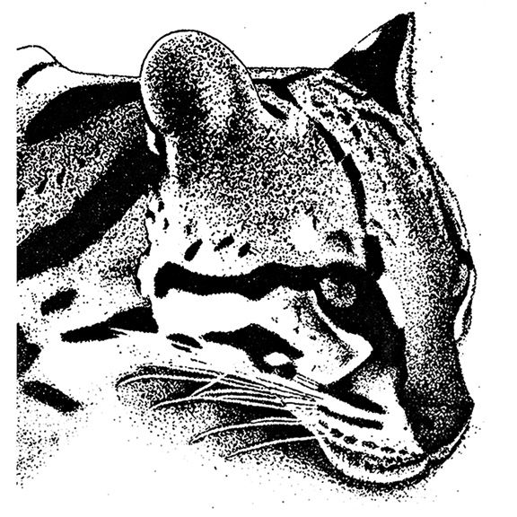 how to draw a ocelot pencil drawings on behance a draw how to ocelot