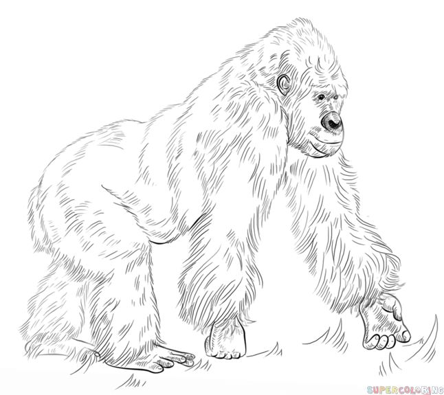 how to draw a silverback gorilla 042 gomer the silverback gorilla drawing by abbey noelle draw how to silverback gorilla a