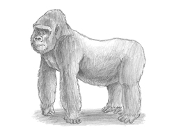 how to draw a silverback gorilla how to draw a gorilla agressive stance to draw how a gorilla silverback