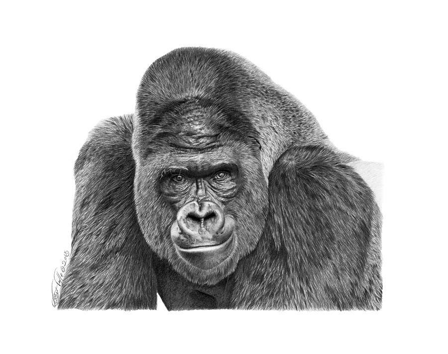 how to draw a silverback gorilla how to draw a gorilla drawingforallnet gorilla draw a how to silverback