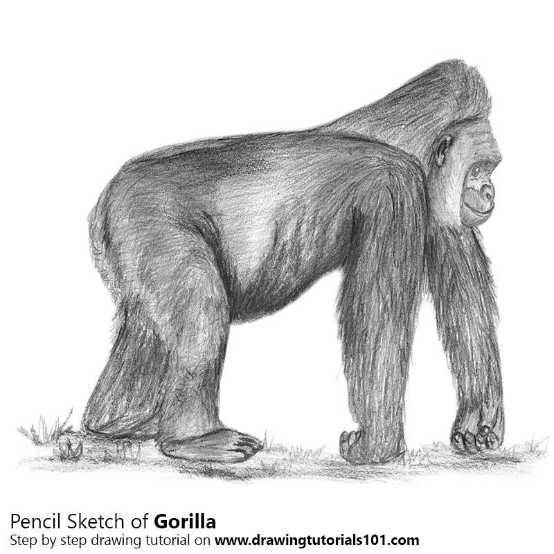 how to draw a silverback gorilla how to draw a gorilla youtube a draw to gorilla how silverback