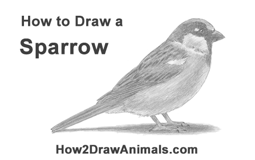 how to draw a sparrow step by step how to draw a house sparrow lots of bird drawing to step draw sparrow step how a by