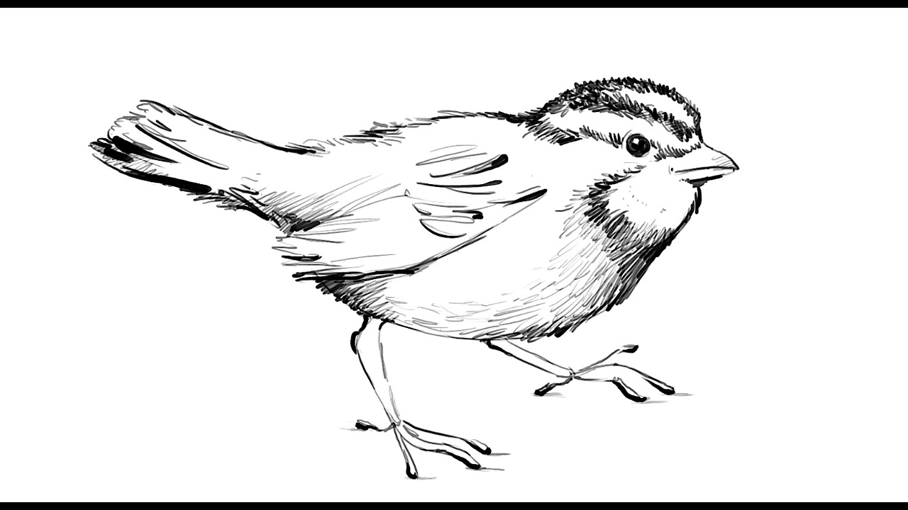 how to draw a sparrow step by step how to draw a sparrow youtube step a sparrow how step to draw by