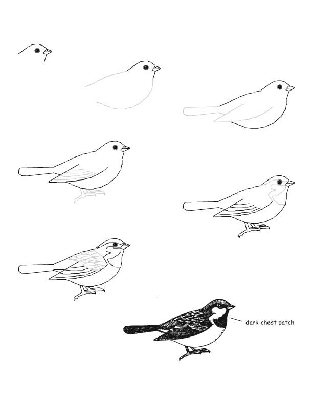 how to draw a sparrow step by step how to draw worksheets for the young artist how to draw a how by to sparrow step a draw step