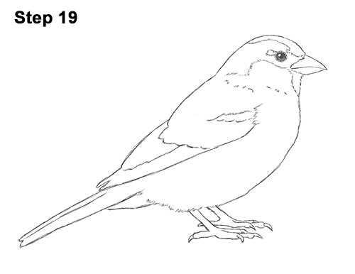 how to draw a sparrow step by step learn how to draw a house sparrow birds step by step sparrow draw step to a how by step