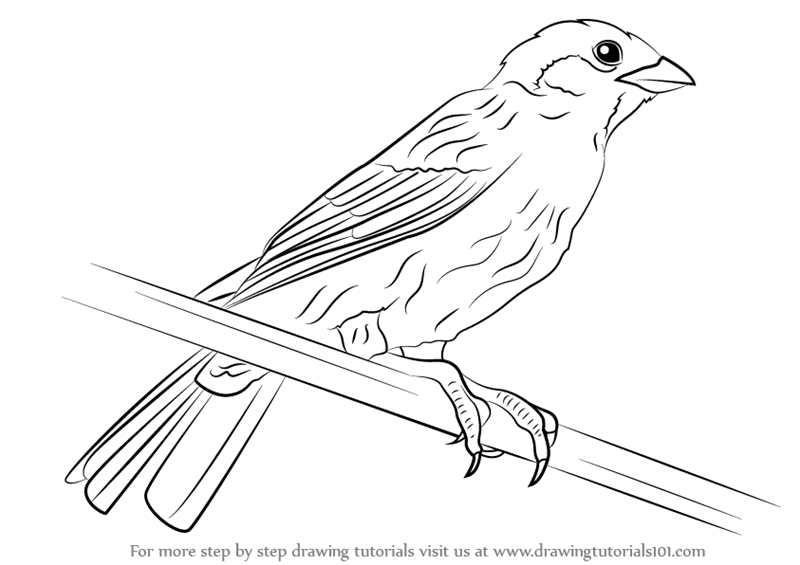 how to draw a sparrow step by step step by step how to draw a eurasian tree sparrow how to a step step by draw sparrow