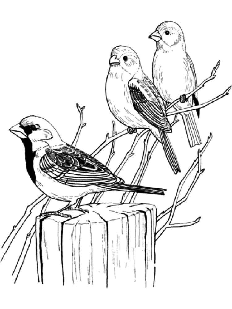 how to draw a sparrow step by step the best free sparrow drawing images download from 524 by to a how draw sparrow step step