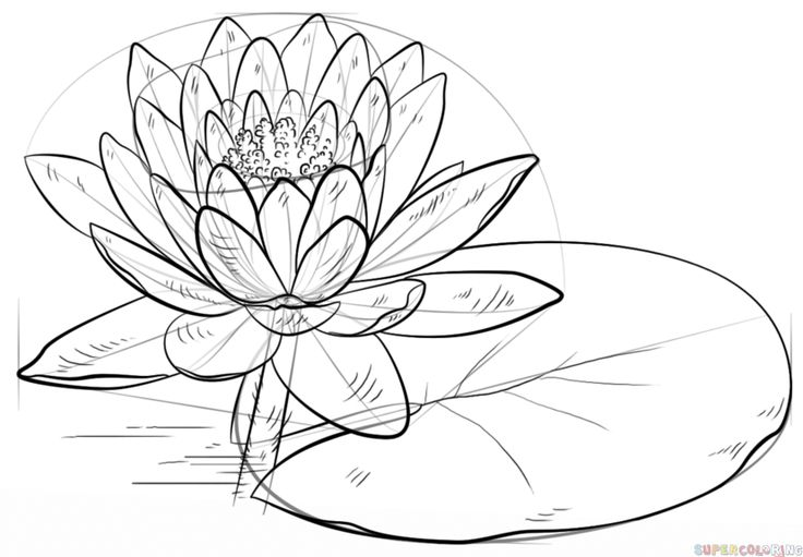 how to draw a water lily flower sketches how to draw a water lily and pad lilies how lily water to a draw