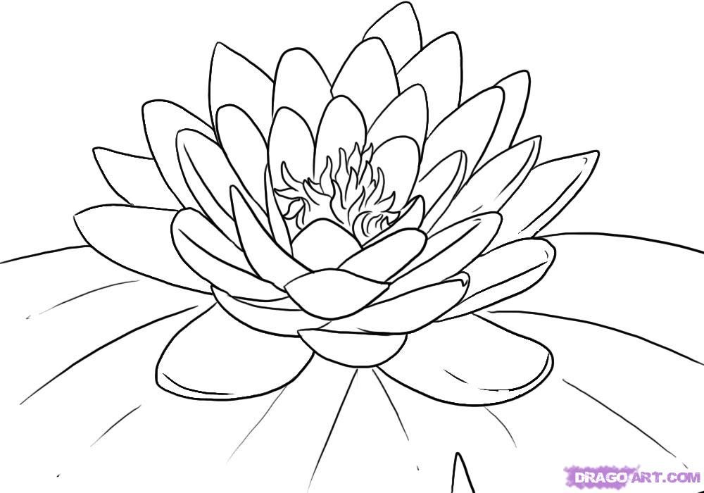 how to draw a water lily the language of flowers water lily lotus flower colors draw water how to a lily