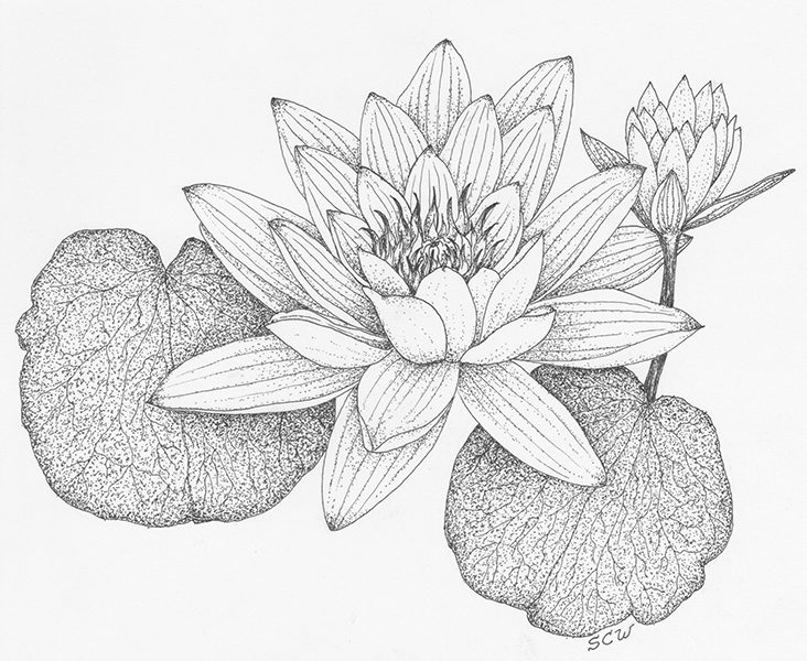 how to draw a water lily water lily drawing at getdrawings free download to draw a water how lily
