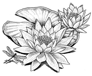how to draw a water lily water lily drawing wonderous water lily lilies drawing to water a lily how draw