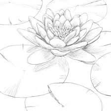 how to draw a water lily water lily in 2019 lilies drawing drawings lily pad a draw how lily to water