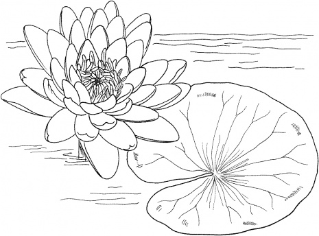 how to draw a water lily water lily line drawing at getdrawings free download water draw how lily a to