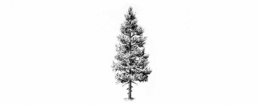 how to draw realistic pine trees pine tree drawing at getdrawings free download trees realistic to pine draw how