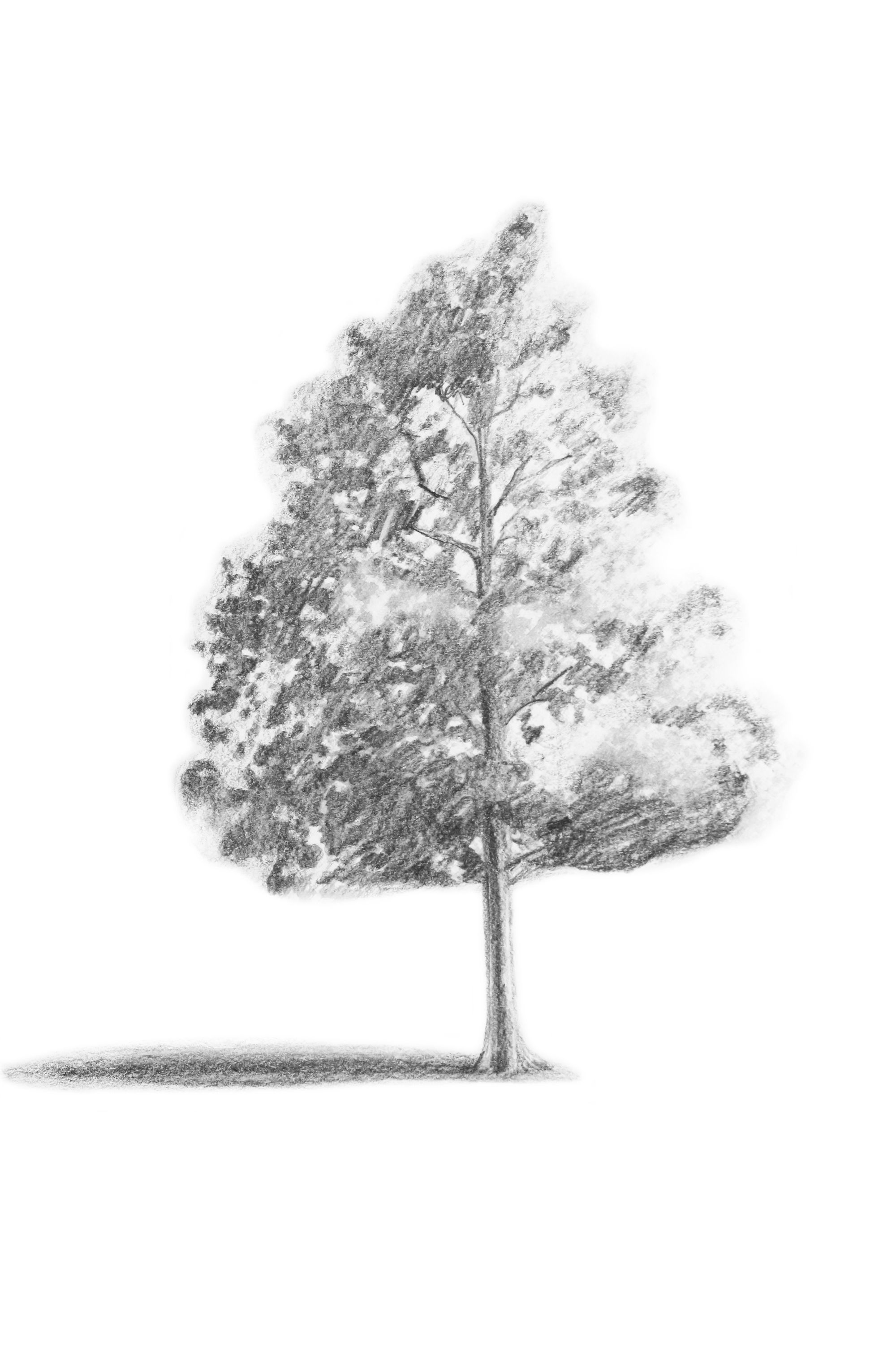 how to draw realistic pine trees pine trees in pencil drawing at getdrawings free download how pine realistic draw to trees