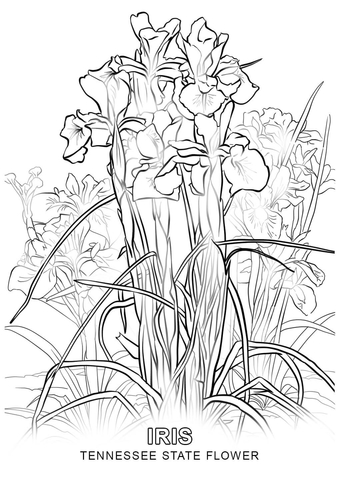 how to draw tennessee state flower tennessee state flower coloring page free printable to draw state how flower tennessee