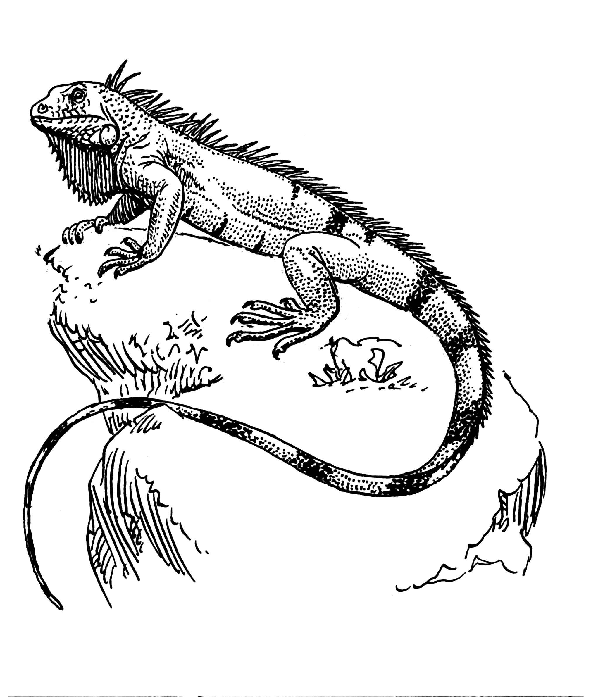 iguana coloring page iguana coloring pages printable coloring pages iguana page coloring