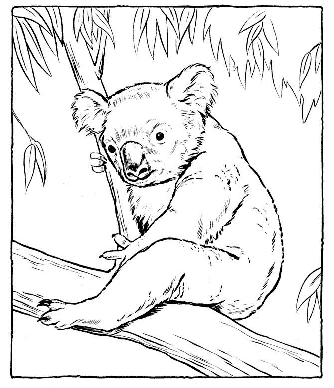 koala pictures to colour in for kindergarten free printable koala coloring pages for pictures in colour koala to
