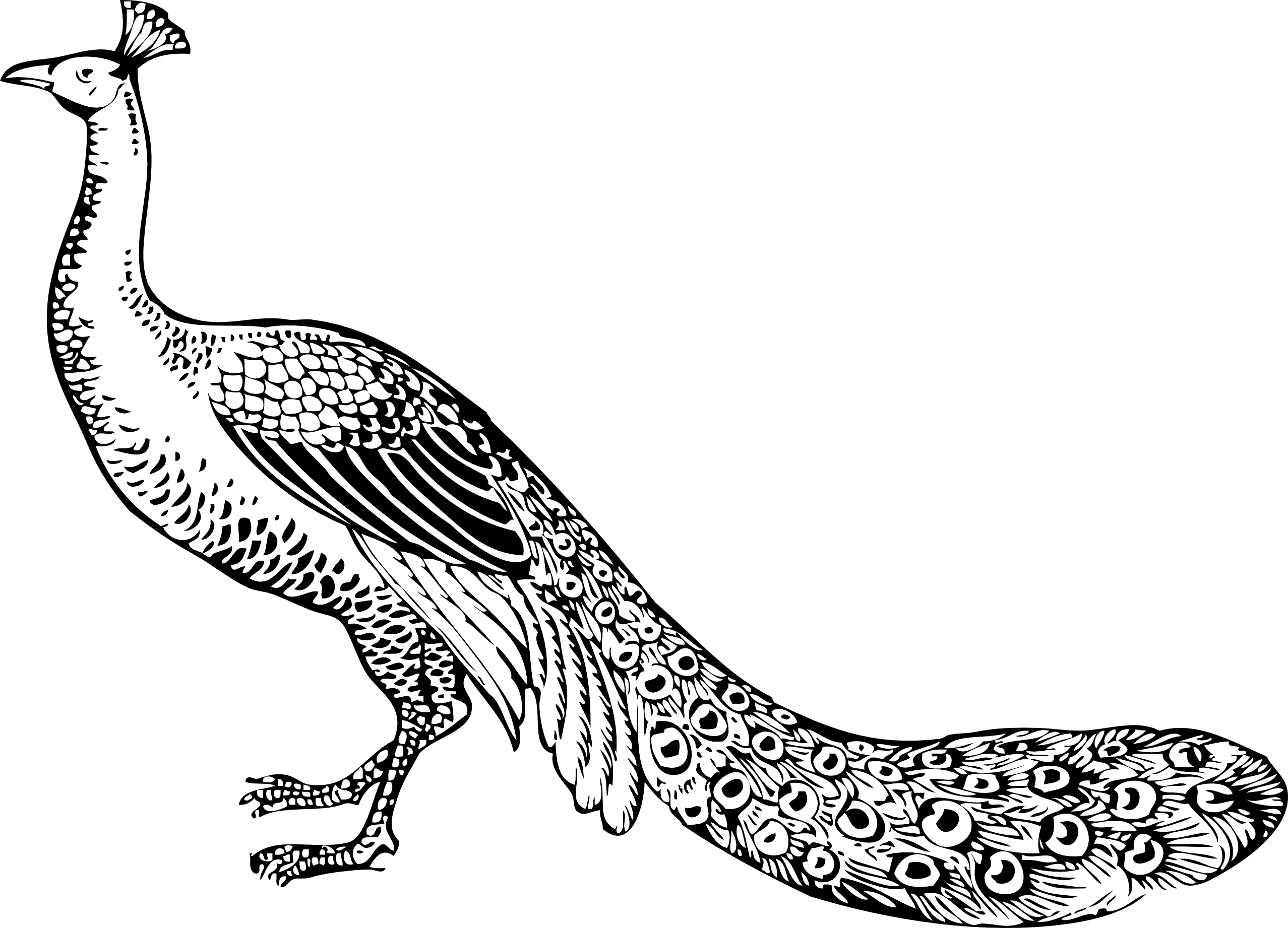 line drawing of peacock peacock coloring page stock illustration download image drawing line peacock of