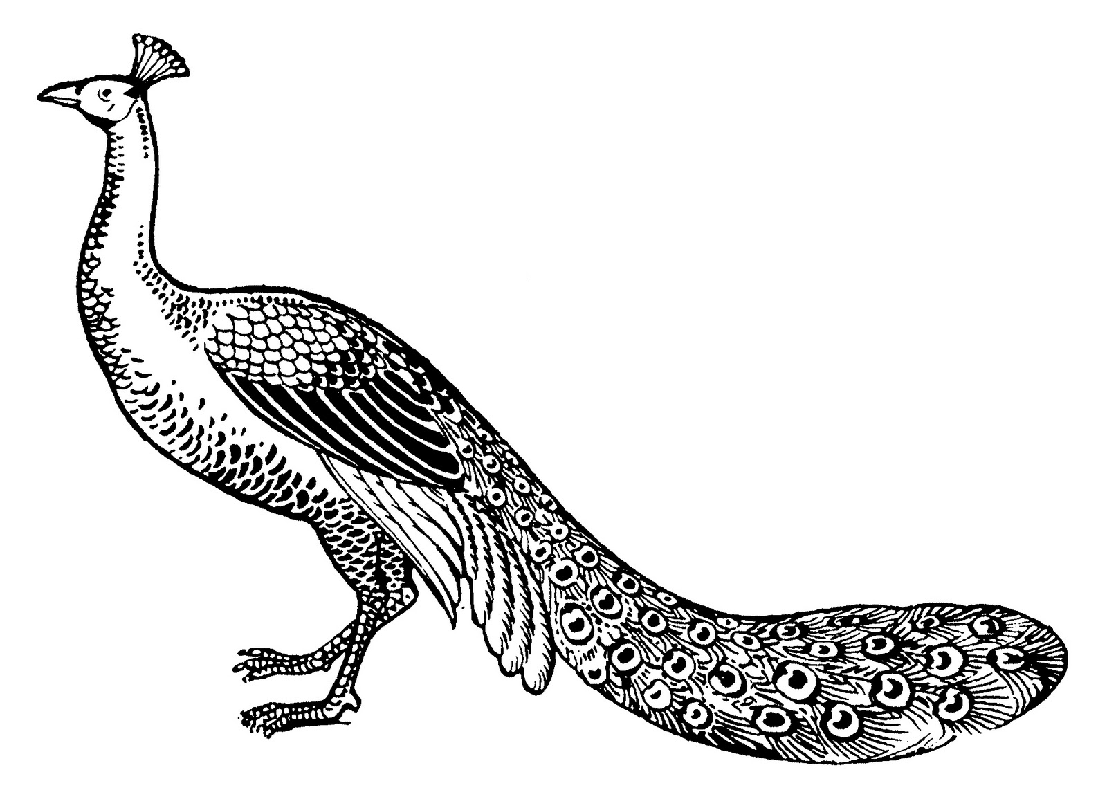 line drawing of peacock peacock drawing easy at getdrawings free download line peacock of drawing
