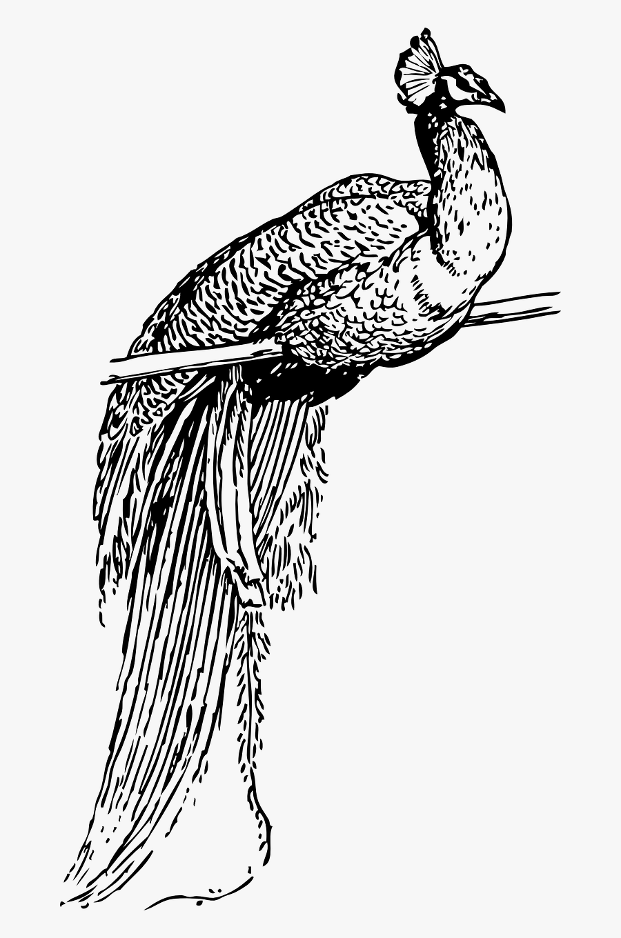 line drawing of peacock peacock illustration on behance of line drawing peacock